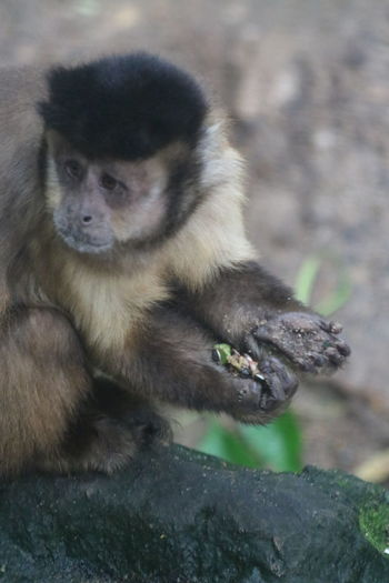 Primate Zoology