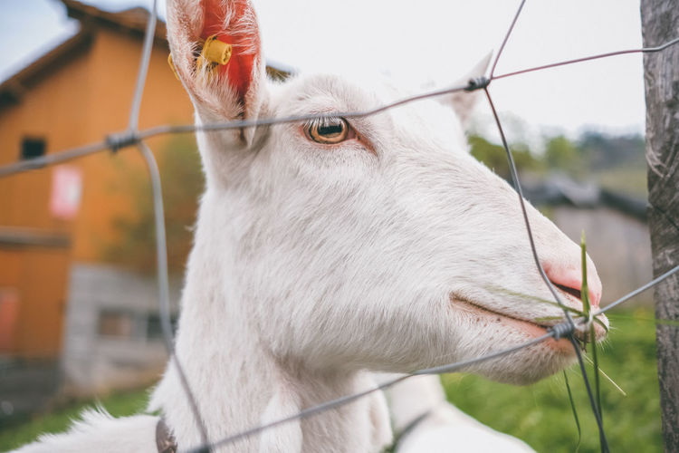 Close-up of goat outdoors