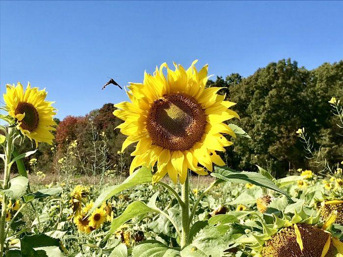 Sunflower Fiel