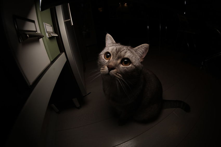 Animal Eye Animal Themes British Shorthair Day Domestic Animals Domestic Cat Feline Indoors  Looking At Camera Mammal No People One Animal Pets Portrait Sitting Tabby Cat Watching