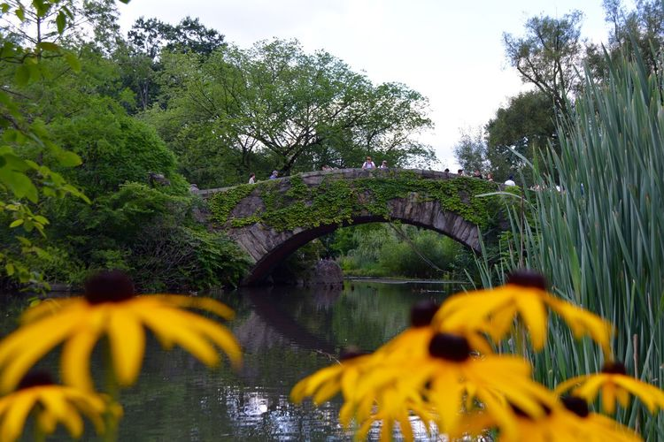 Water Plant Growth Tree Nature Beauty In Nature River Day No People Connection Yellow Flower Focus On Background Green Color Flowering Plant Sky Bridge Tranquility Bridge - Man Made Structure Outdoors Flowing Water Nikon D5200 Central Park Central Park - NYC Yellow Flower Bridge Central Park Central Park Views Small Bridge Small Bridge In The Woods Background Photography