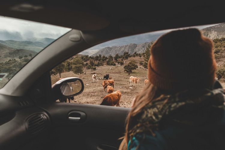 Adult Car Car Interior Cows Cows In A Field Driving Glass - Material Headshot Land Vehicle Leisure Activity Lifestyles Mode Of Transportation Nature Outdoors People Portrait Real People Rear View Road Trip Roadtrip Transportation Travel Vehicle Interior Wildlife Women