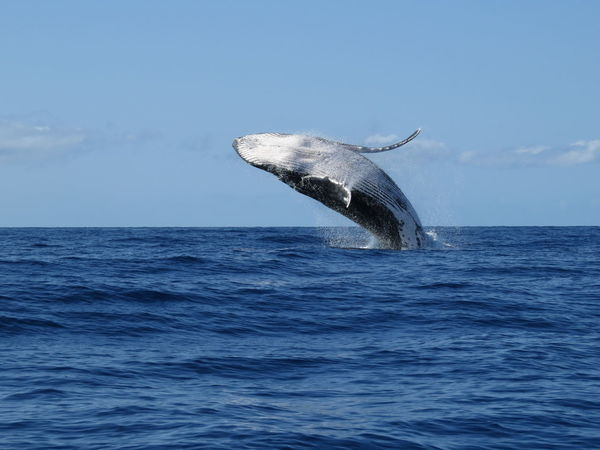 Early morning whale watching, Lahaina Bay, Maui, Hawaii...03.2014 Animal Body Part Beauty In Nature Blue Day Horizon Over Water Humpback Whale Idyllic Jumping Whale Nature No People Outdoors Rippled Scenics Sea Sky Tranquil Scene Tranquility Water Whale Watching Wildlife