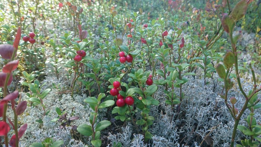Lingonberries Lingonberrysprig Picking Berries Forest Photography Forest Taking Photos Enjoying Life That's Me Middle Of Sweden Nature Photography Nature Nature_collection Relaxing