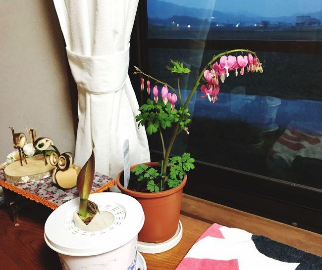 ハート型の花なタイツリ草 Potted Plant Flower