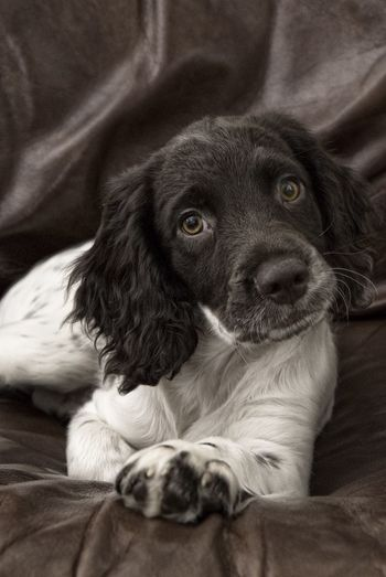 Rory Springer Spaniel Dogs Black & White