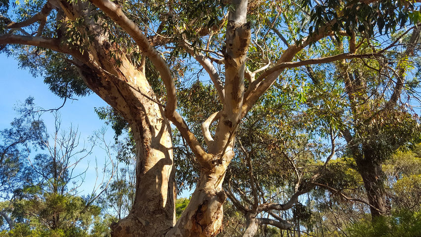 eucalytpus tree with outstretched branches Beauty In Nature Branch Day Eucalyptus Trees Green Green Color Growth GumTree Low Angle View Nature No People Sky Sunny Tranquil Scene Tranquility Tree Tree Trunk