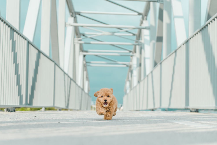 Poodle Animal Animal Themes Architecture Bridge Bridge - Man Made Structure Built Structure Canine Day Dog Domestic Domestic Animals Focus On Foreground Looking At Camera Mammal No People One Animal Pets Portrait Pup Puppy Railing Small Transportation