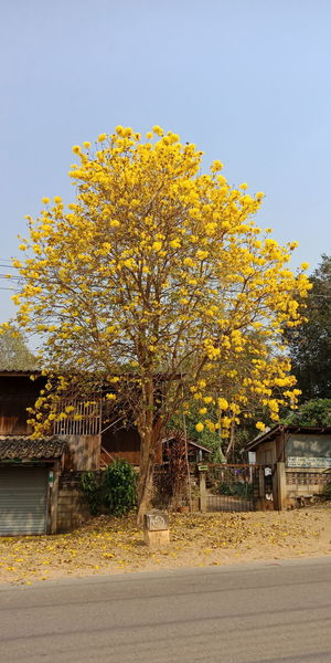 Yellow flowers on tree by street against sky