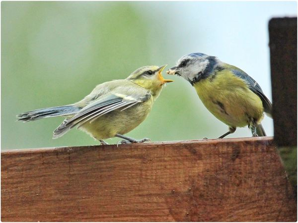 Hungry Bird Bird Birds Bird Photography Vogel Vogel Jungvogel Baby Feeding Animals Feeding  Animals Animal Photography Michael Hruschka Nature Wildlife Wildlife & Nature Young Animal Meise Titmouse Blaumeise Parent And Child Fürsorge Love Tiere Photography Young