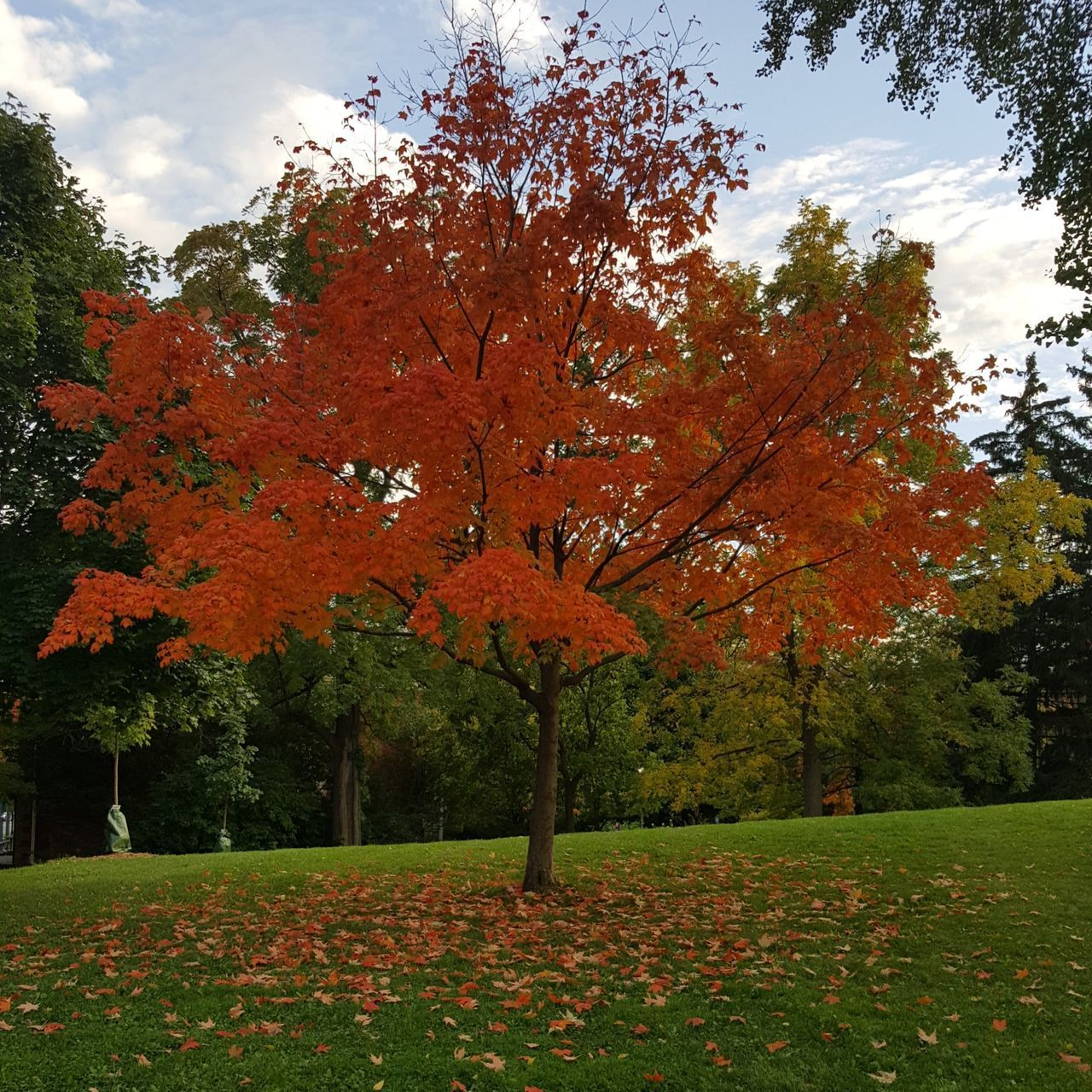 plant, tree, autumn, change, beauty in nature, nature, orange color, park, growth, tranquility, park - man made space, day, leaf, tranquil scene, land, no people, scenics - nature, plant part, sky, field, outdoors, natural condition, fall