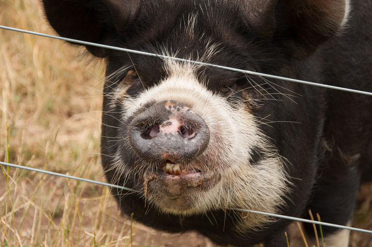 Pig behind a wire fence Pig Head Animal Head  Animal Nose Animal Themes Close-up Farm Animal One Animal Pig Pig Snout Snout Wire Fence