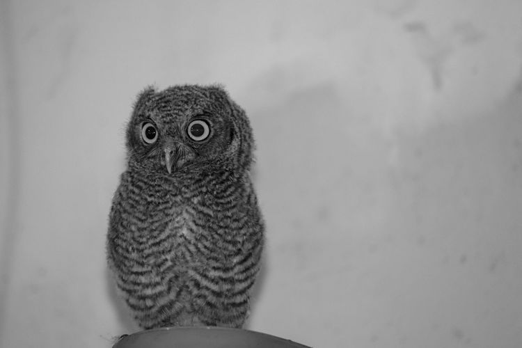 An wild owl chilling in the garage! Animal Wildlife Animals In The Wild Owl Bird Of Prey Portrait Focus On Foreground Looking At Camera Close-up Bird One Animal Nature Nature_collection Black And White Greyscale Isolated Isolated White Background Landscape Not Looking At The Camera Cool Indoors