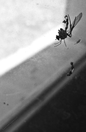 More on https://www.facebook.com/leccecomelacantoio/ Dragonfly Death Bnw Bnwphotography Lecce Lecce - Italia Lecce City Leccecomelacantoio Silence Insect Insect Photography Blackandwhite Blackandwhite Photography Olivetani
