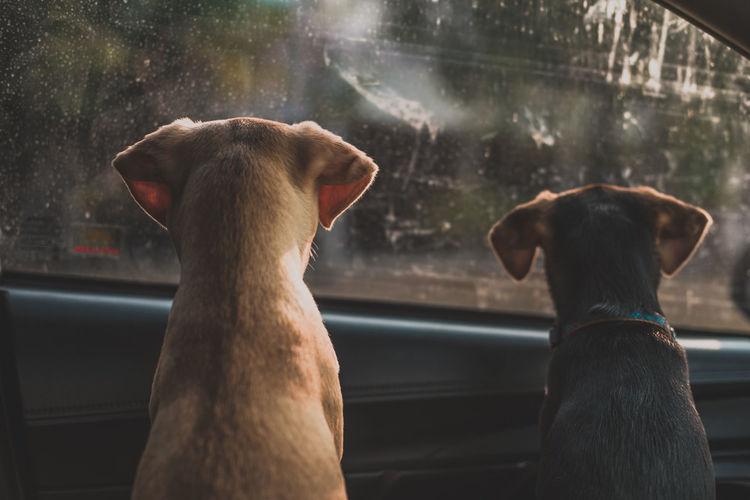 Rear view of dogs looking through car window