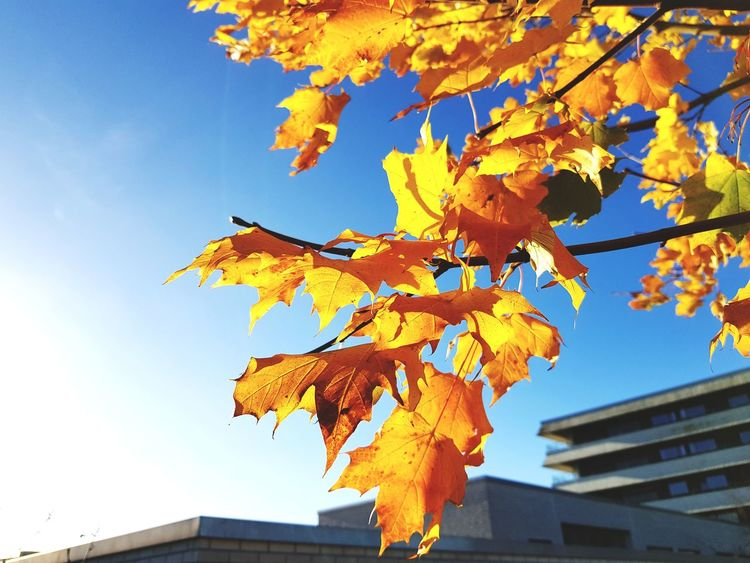 Autumn Leaf Change Outdoors Branch Day Low Angle View Blue Tree Sky Nature No People Architecture Close-up