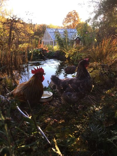 Hen, Höns, Autumn, Check This Out, Garden, Höst Fall Beauty In My Garden Tupp Beautiful Day