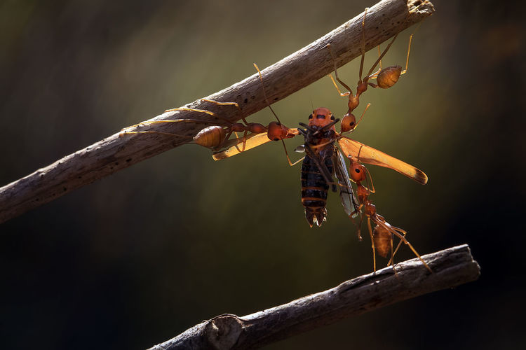 Close-up of ants holding bee on twig