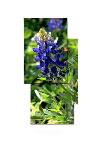 Beauty In Nature Bluebonnet Close-up Day Flower Flower Head Fragility Freshness Grass Green Color Growth Nature No People Outdoors Petal Plant Purple White Background