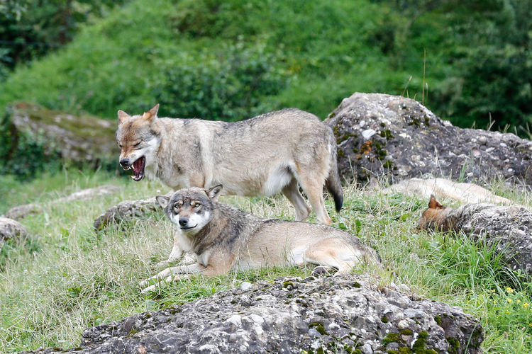 Wolves On Grass