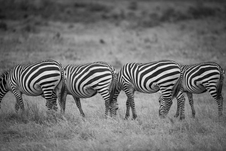 The repetitions Zebra Animal Animal Wildlife Striped Mammal Animal Themes Animals In The Wild Field Grass Group Of Animals Safari Land Vertebrate No People Plant Domestic Animals Nature Animal Markings Livestock Herd Outdoors Herbivorous