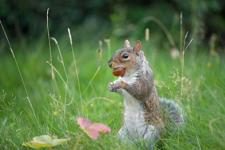 A conker is held firmly in the jaws of a grey squirrel that is stood amongst grass