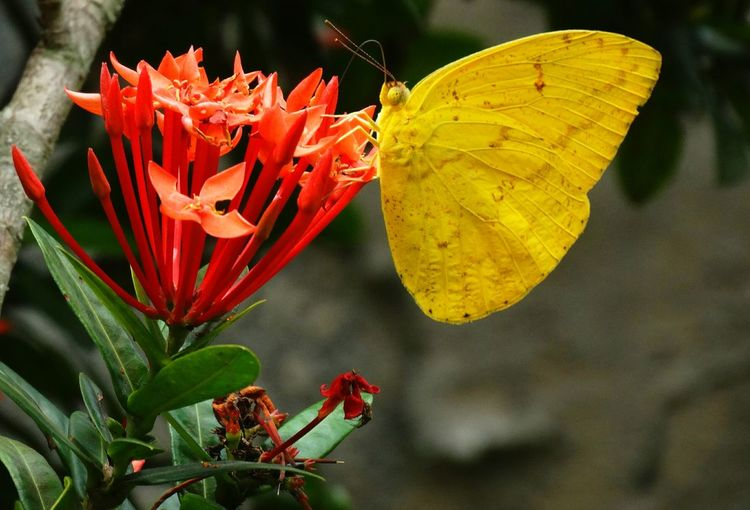 Close-up of yellow butterfly pollinating on ixora