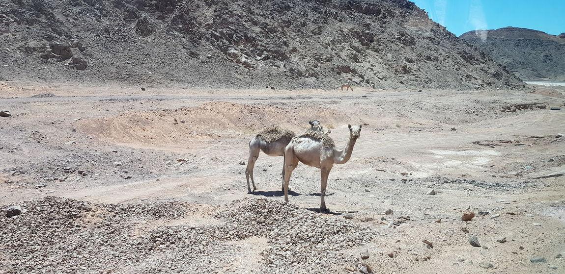 Sand Pets Sky Foal Herbivorous Desert Sand Dune Donkey Stable Horse Pony Zebra Working Animal Arid Camel Namib Desert Paddock Arid Landscape Atmospheric Grazing Livestock Horseback Riding Arid Climate Mane Animal Pen Bridle Cheetah