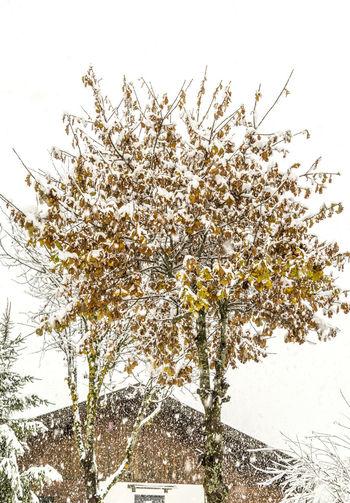 Baum Erster Schnee First Snow Natur Pflanzen Snow Tree Winter