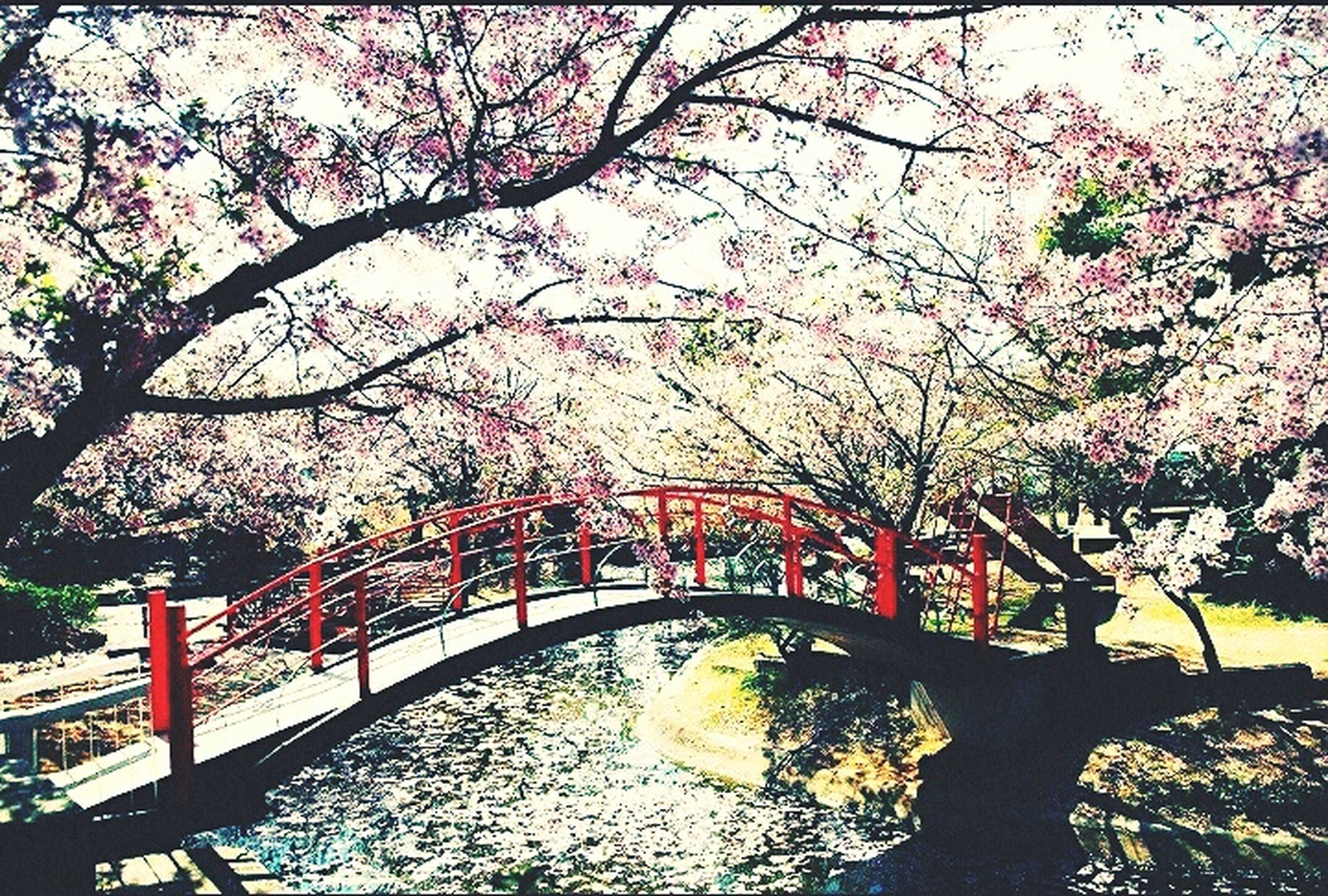 tree, flower, branch, growth, pink color, nature, beauty in nature, water, park - man made space, freshness, blossom, railing, cherry blossom, tranquility, day, fragility, park, outdoors, sunlight, built structure