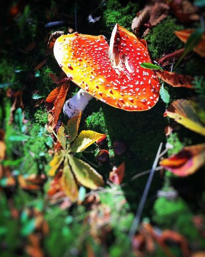 Autumn shrooms 🍄 Nature Leaf Growth Beauty In Nature Outdoors Mushroom Fly Agaric Mushroom Day Close-up Autumn Plant plantToadstool lFall lAutumn Leaves sAutmun Colors sFoliage eVancouver rPacific Northwest  t Wild Mushrooms