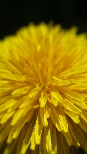 Yellow Dandelion Zoom Macro Lense
