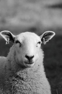 Glastonbury Tor Black & White Glastonbury Sheep