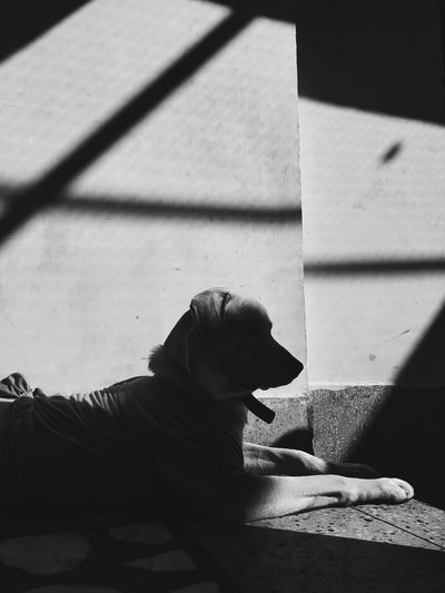 Black and white image of side view of dog sitting on floor in the shadow