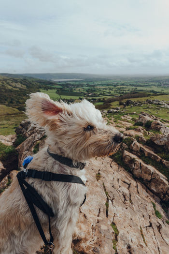 White dog sitting in the wind on top of the crook peak in mendip hills, somerset, uk.