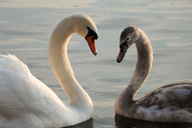 Close-up of swans in lake