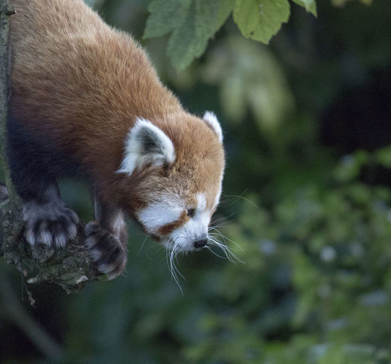 Close-up of red panda against trees