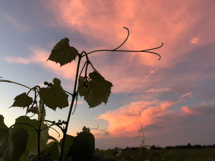 Pink sky's Sky Cloud - Sky Sunset Beauty In Nature Plant Nature Tranquility Silhouette Leaf Tranquil Scene Growth Scenics - Nature No People Sunlight Orange Color Outdoors Plant Part Tree Low Angle View Non-urban Scene