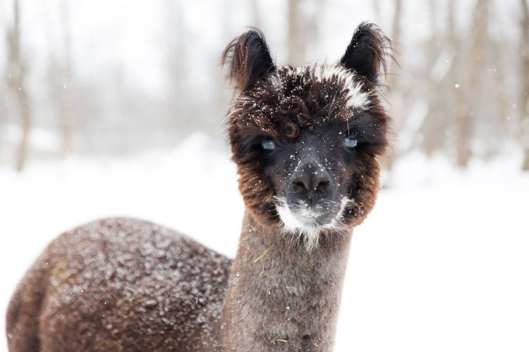 Yclose-up portrait of young llama in winter snow