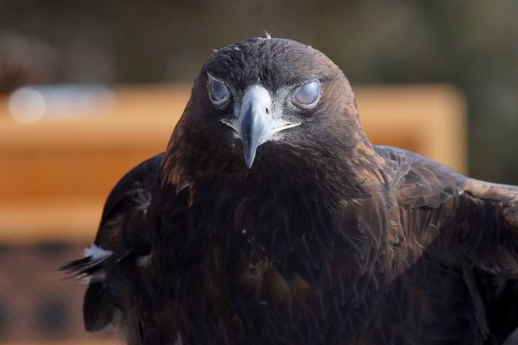 Golden Eagle Golden Eagle Portrait Nictating Membrane Third Eyelid Eagle EyeEm Selects Bird Animal Wildlife Eye Bird Of Prey Looking At Camera Beak Feather  One Animal Close-up No People Portrait Perching Nature Beauty In Nature Outdoors