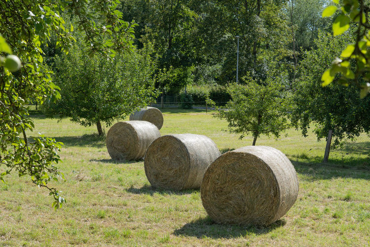 Hay bales on field with apple trees.
