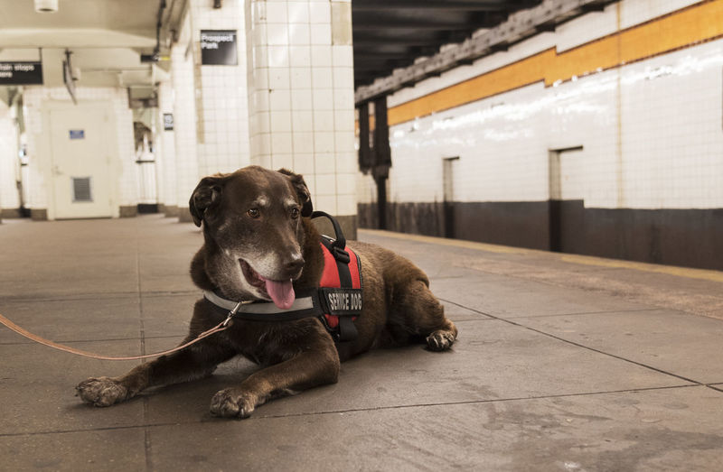 Service dog waiting on the platform for a subway Gray Beard Pets Corner Service Animals Animal Themes Architecture Built Structure Chocolate Labrador Cute Day Dog Domestic Animals Elderly Indoors  Mammal No People One Animal Pets Vest