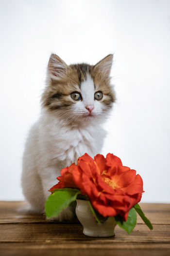 Portrait of cat against white wall