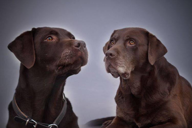 Labrador Labrador Sisters Dogportraits What Do You See? Pero Bavarian Dogs Our Dogs Dogslife Loking Somewhere EyeEm Selects The Best Friends ♥  Two Labradors Two Dogs Relaxing Pets Dog Canine Animal Themes Domestic Animals Mammal Domestic Animal Head  Indoors  Looking Away Weimaraner Close-up Brown No People Looking Vertebrate Animal Studio Shot