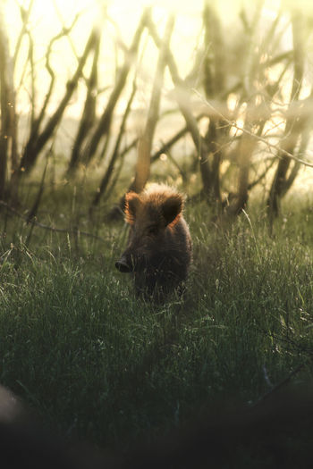 Male boar at sunset