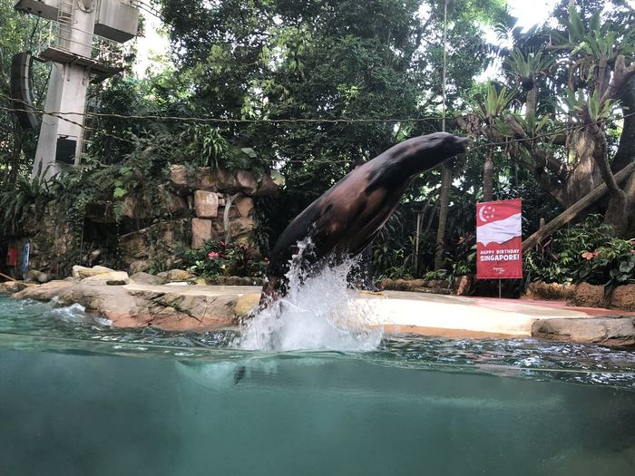 The butterfly stroke! Sea Lion Singapore Zoo Zoo Leap Mammal Splash Swimming Water