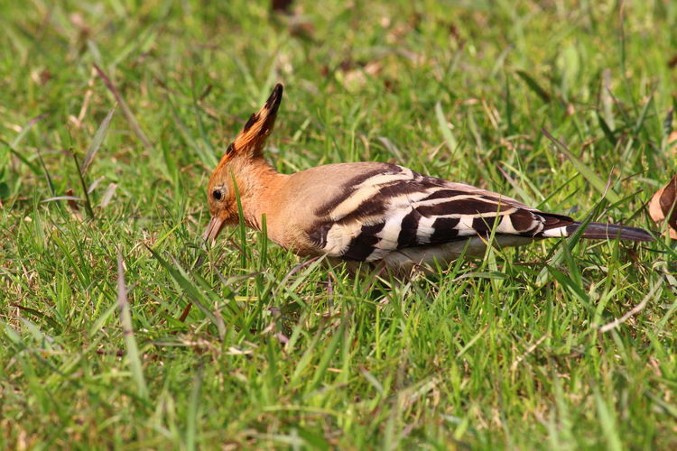 Woodpecker chick