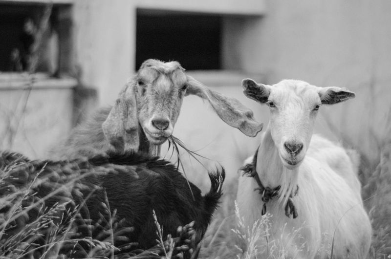 Two Ladies posing Happy Animal Mammal Animal Themes Group Of Animals Domestic Vertebrate Pets Domestic Animals Livestock Focus On Foreground Two Animals Portrait No People Young Animal Day Field Looking At Camera Animal Wildlife Sheep Selective Focus Herbivorous Animal Head  Animal Family