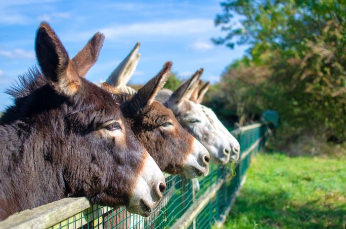 """""""Bonds that bind."""" Donkeys In A Row Cute Together Bond Togetherness Outdoors Harmony Sky Agriculture Group Of Animals Group Farm Fence Ears Up Donkies Herd Mule Mules Animal Animal Themes Domestic Animals Vertebrate Livestock Animal Head  Animal Body Part Working Animal Day Donkey"""