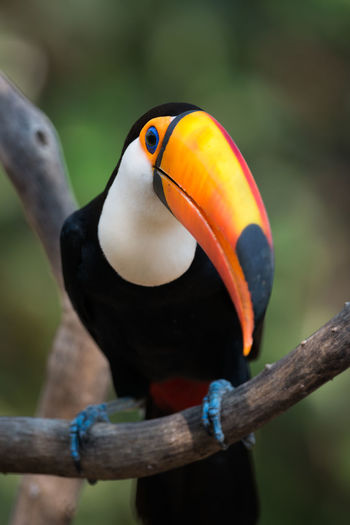 Animal Themes Animal Wildlife Animals In The Wild Beak Bird Day Focus On Foreground Multi Colored Nature No People One Animal Orange Color Outdoors Perching Toco